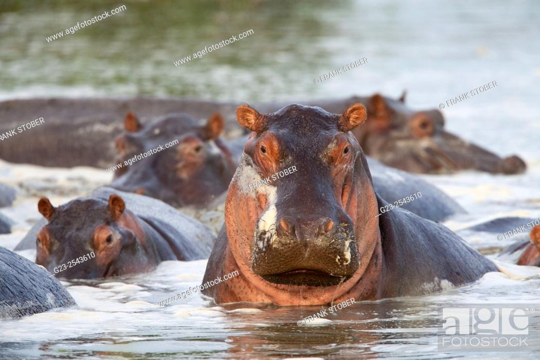 Stock Photo: Hippopotamus. Africa.