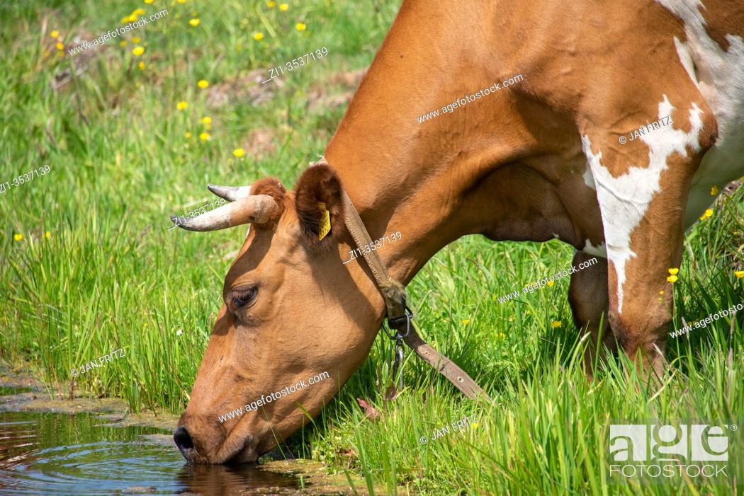 Stock Photo: drinking cow at ditch in Groene Hart, Holland.