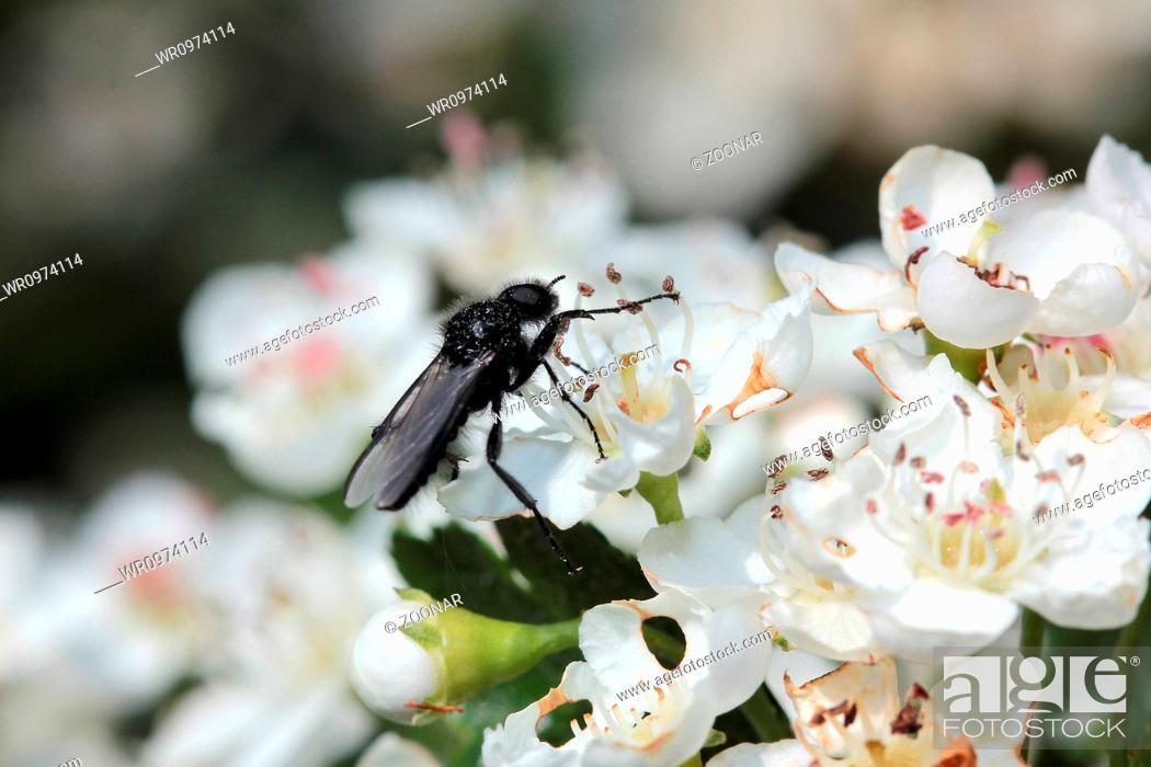 Imagen: Hawthorn blossom with Bibio marci.