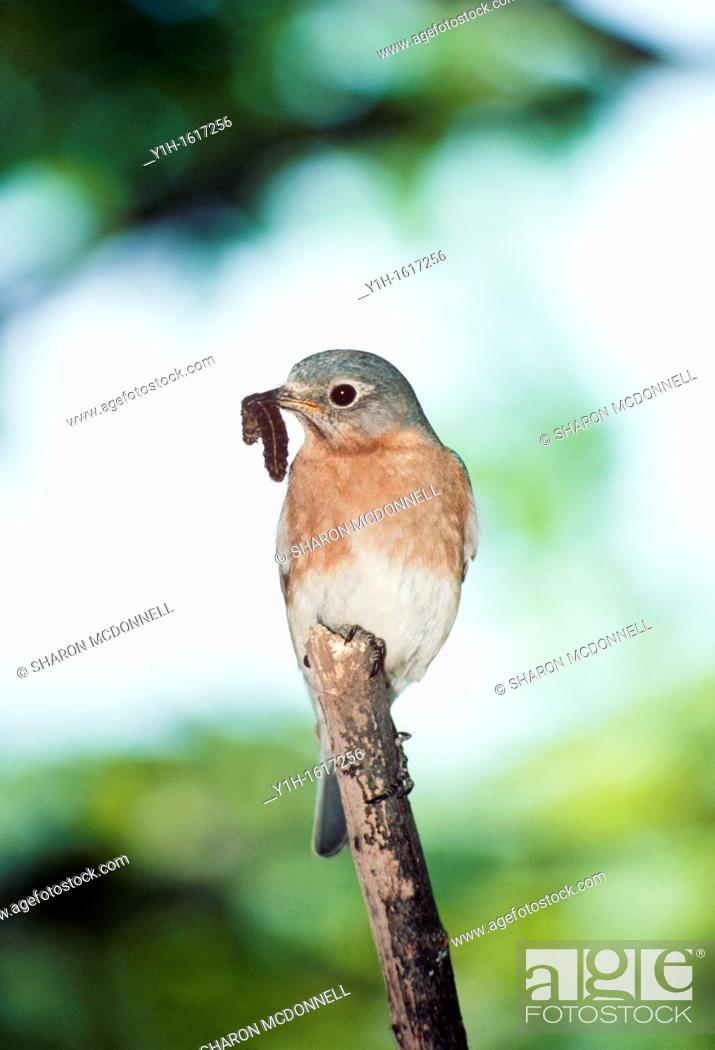 Stock Photo: Female Eastern Bluebird (Sialia sialis) perched on stick with caterpillar.