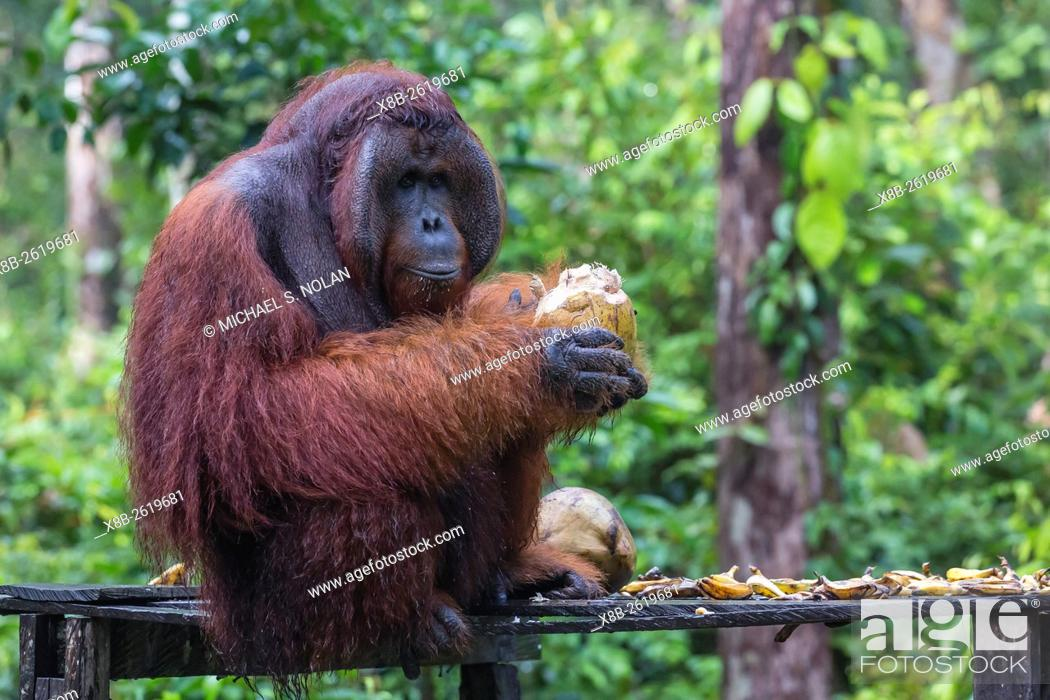 Stock Photo: Reintroduced flanged male orangutan, Pongo pygmaeus, Camp Leakey, Tanjung Puting National Park, Borneo, Indonesia.