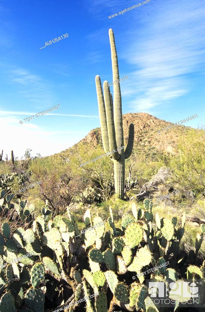 Stock Photo: USA - National Park - Arizona - Saguaro.