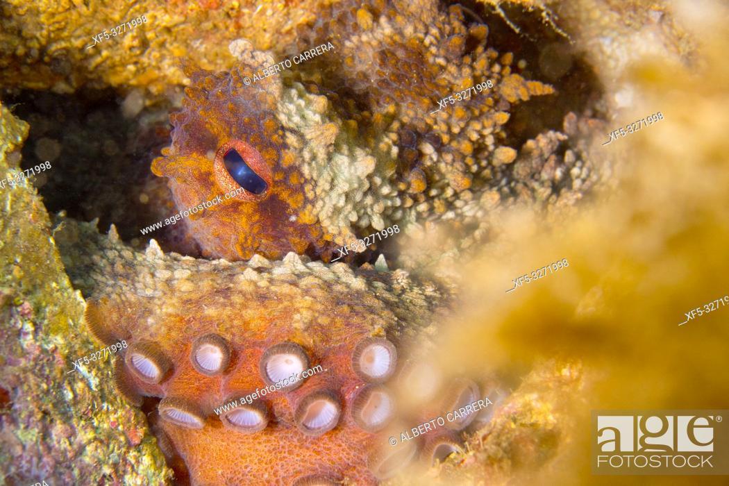 Stock Photo: Common Octopus, Octopus vulgaris, Cabo Cope-Puntas del Calnegre Natural Park, Mediterranean Sea, Region de Murcia, Murcia, Spain, Europe.