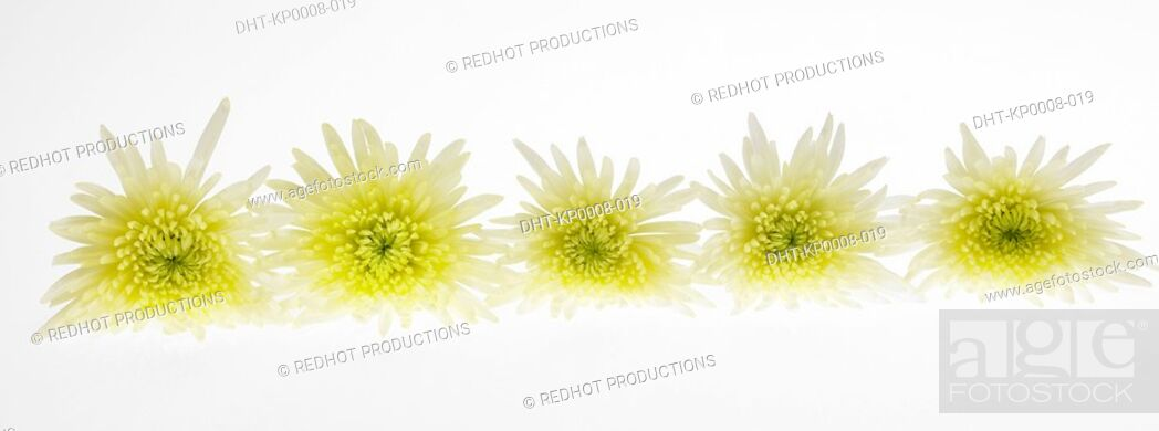Stock Photo: Row of five Chrysanthinum flowers.