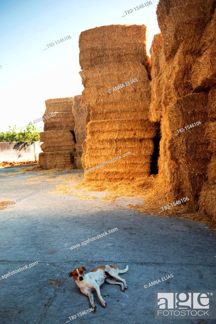 Stock Photo: dog lying on straw in breeding stock of Osuna, Sevilla.