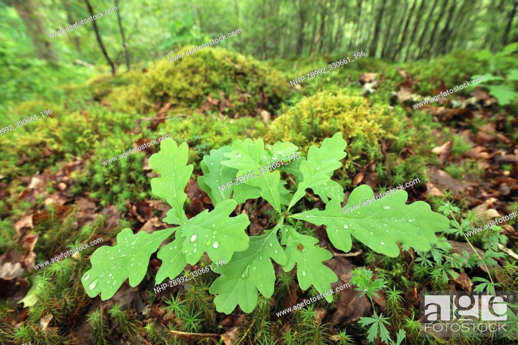 Stock Photo: Sessile / Durmast Oak (Quercus petraea) seedling growing on woodland floor surrounded by mosses and leaf litter, Drippan wood, Glen Finglas.