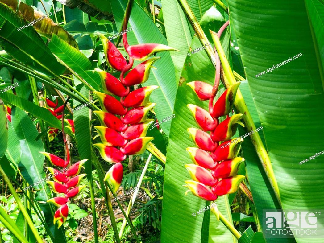 Stock Photo: Hawaï , Big Island , Hilo , Hawaii Tropical Botanical Garden , Lobster claw , Heliconiaceae.
