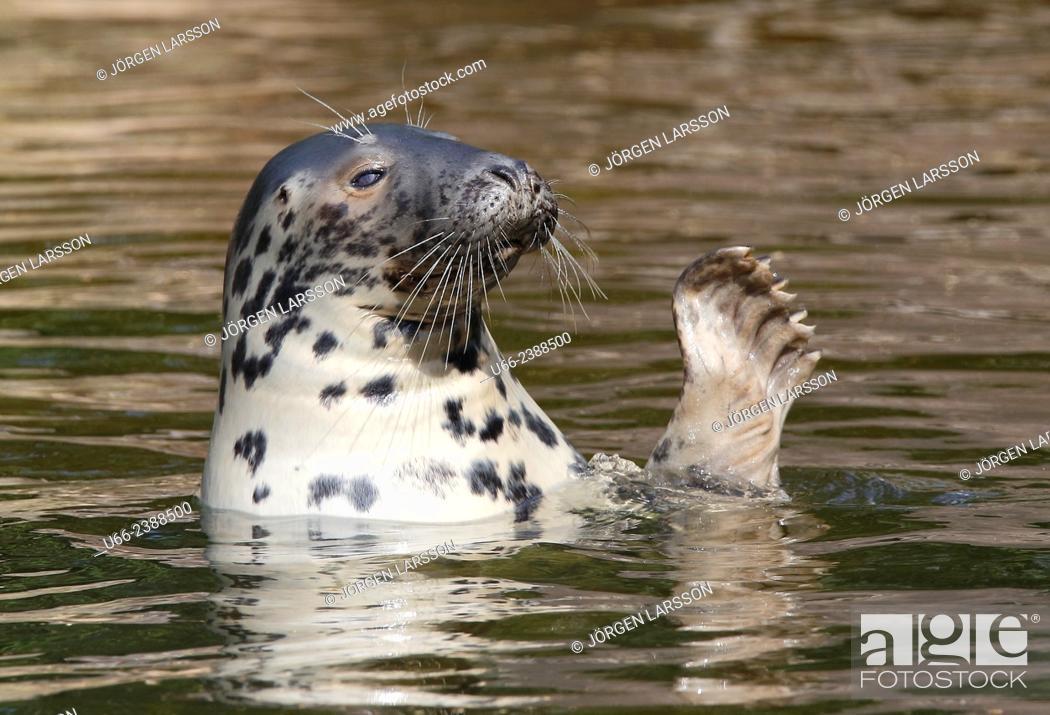 Stock Photo: Grey seal (Halichoerus grypus), Stockholm, Sweden.