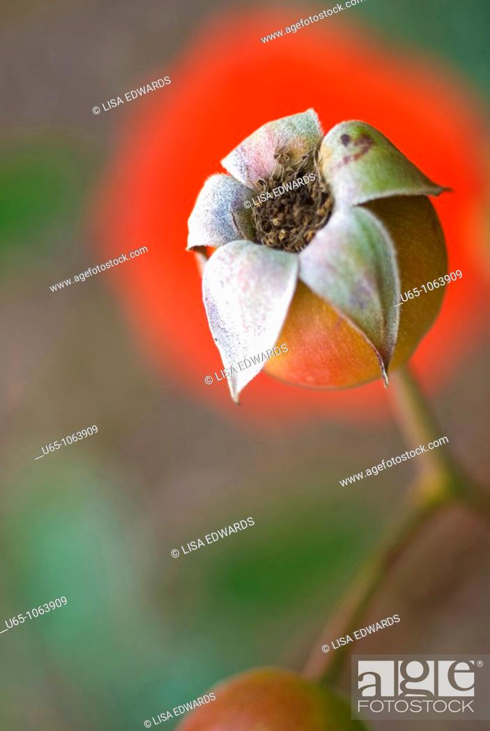 Stock Photo: Rose hip in Auckland, New Zealand.
