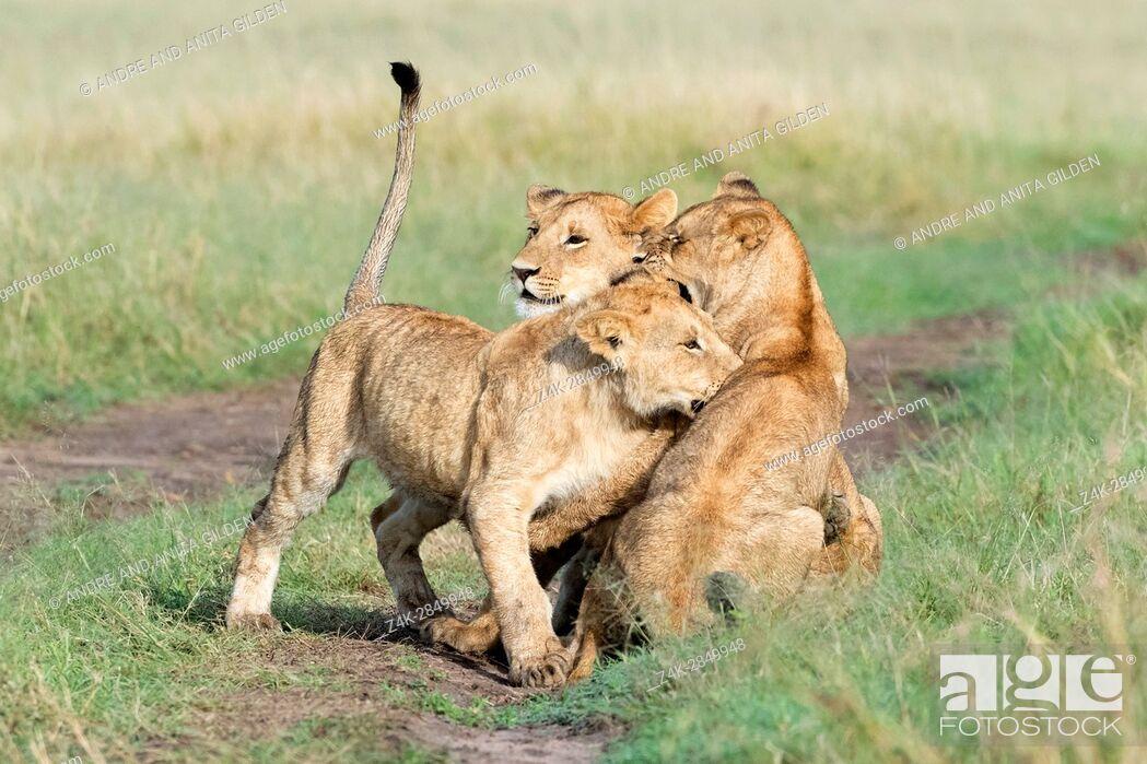 Stock Photo: Young lions (Panthera leo) playing together, Maasai Mara national reserve, Kenya.
