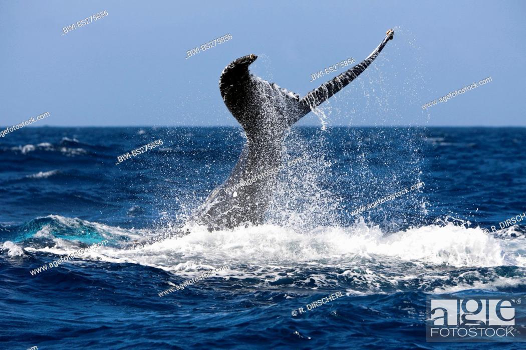 Stock Photo: humpback whale (Megaptera novaeangliae), Tail Fin, Dominican Republic, Samana Peninsula.