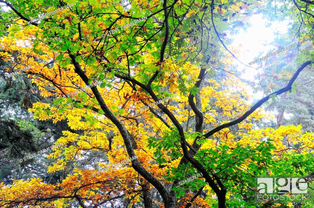 Stock Photo: Autumn Canopy. Lincoln Park, Seattle, Washington, USA.
