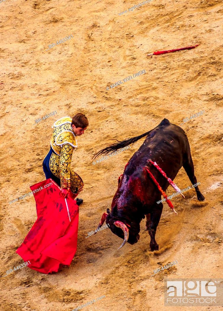 Stock Photo: Bullfighter teases young bull with red cape, bull with two spears in back, muleta, bullfighting arena, torero, matador, novice bullfight, Novillada Picada.