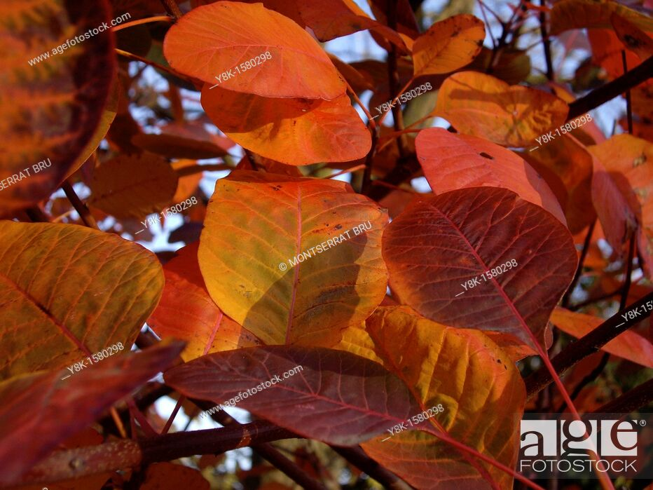 Stock Photo: Red and orange leaves.