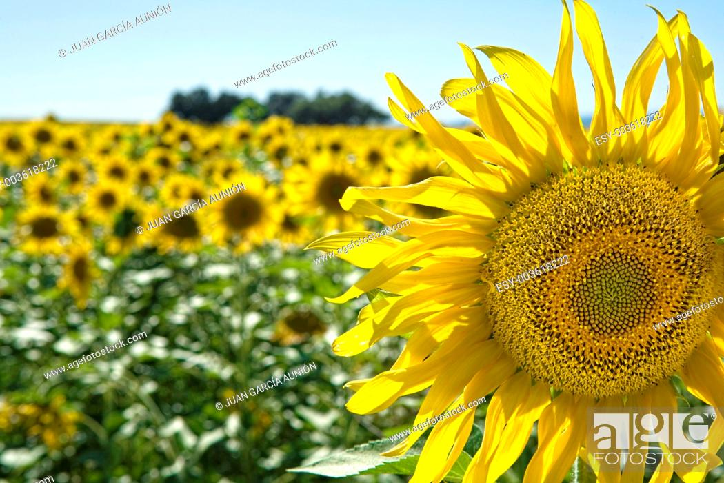 Stock Photo: Field of sunflowers against the light.