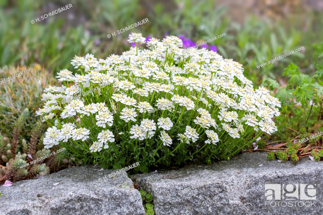 Stock Photo: Sweet alison in the stone garden, Lobularia maritima.