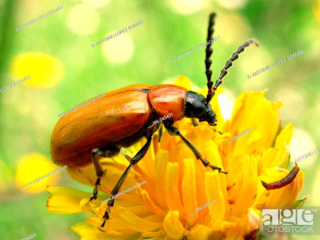 Stock Photo: Chrysomelid beetle (Exosoma Lusitanicum).