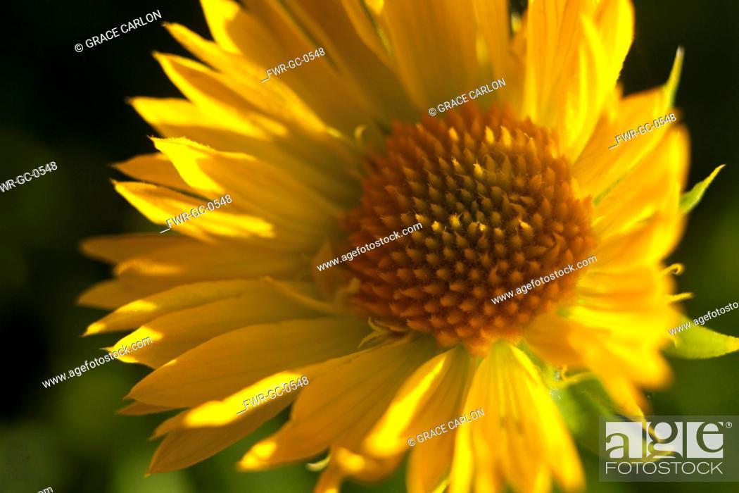 Imagen: Gaillardia, Close up of yellow coloured flower growing outdoor.