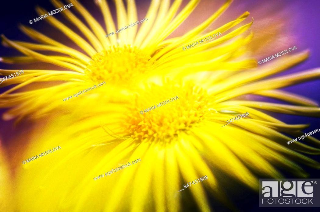 Stock Photo: Yellow Doronicum Daisies. Doronicum orientale. April 2007, Maryland, USA.