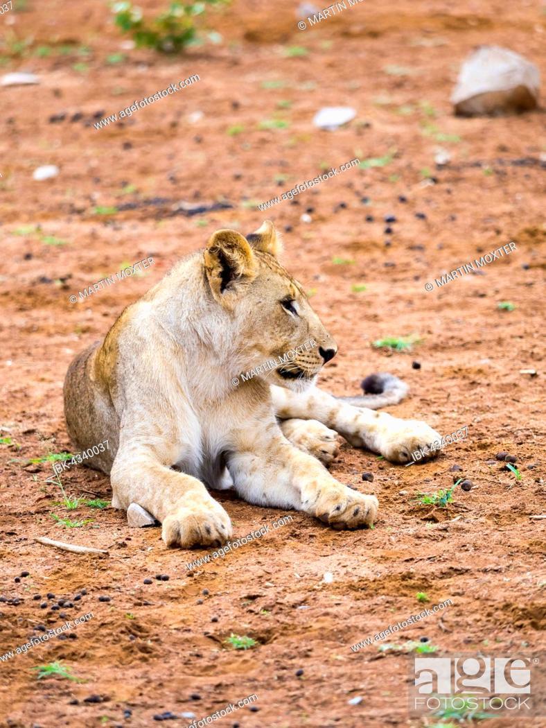 Stock Photo: Young lion (Panthera leo), Okaukuejo, Etosha National Park, Namibia.