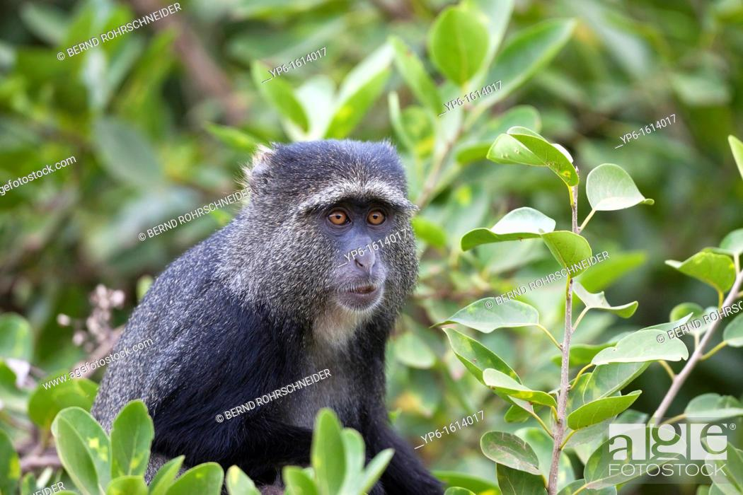 Stock Photo: Blue Monkey Cercopithecus mitis in tree, Lake Manyara National Park, Tanzania.