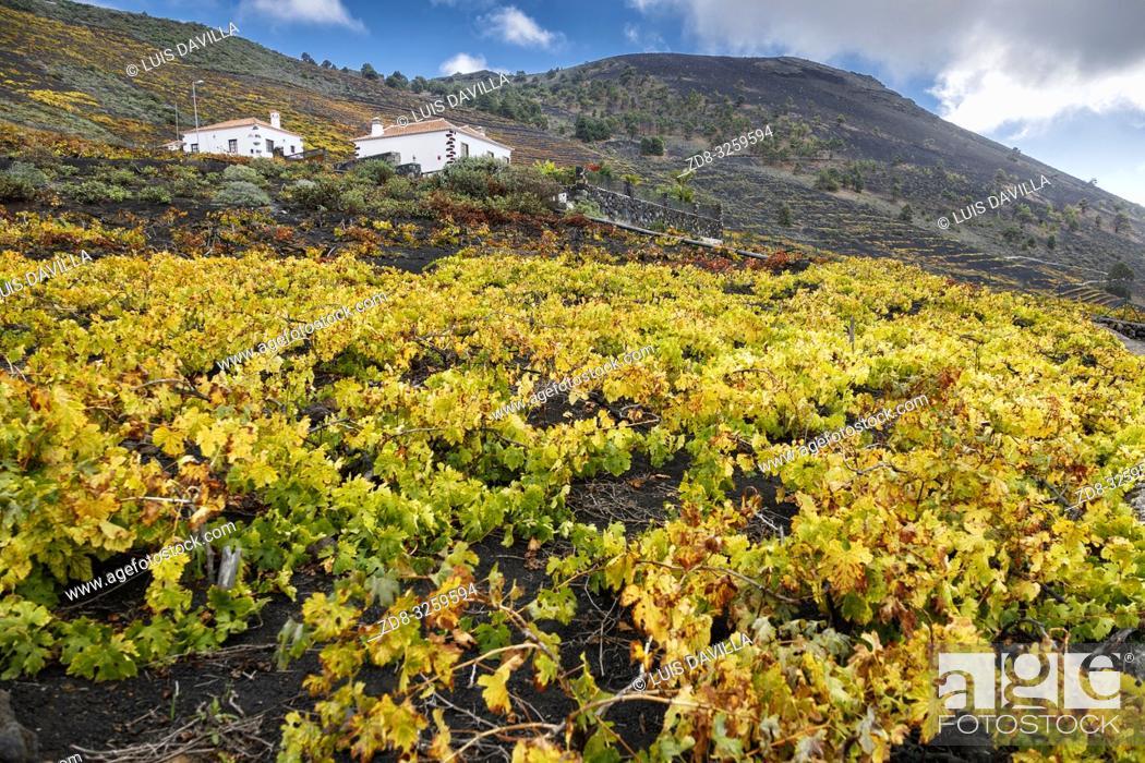Imagen: vineyards of malvasia grape. Fuencaliente. la palma. canary islands. spain.