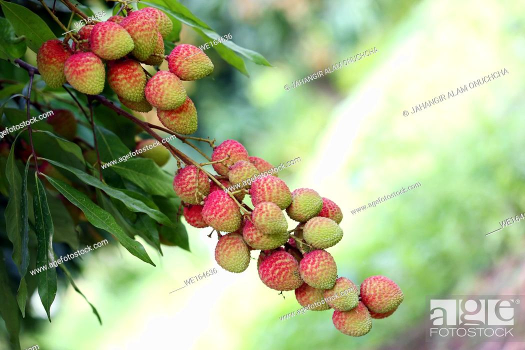 Stock Photo: The Lychee is a fresh small fruit having whitish pulp with fragrant flavor. The fruit is covered by a pink-red roughly shell and easily removed to expose a.
