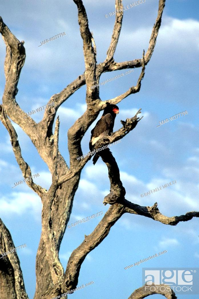 Stock Photo: bateleur eagle, masai mara, kenya.