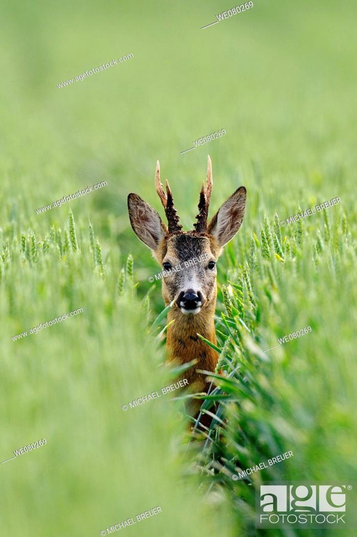 Stock Photo: Roe deer, Roe buck in a grain field in summer, Capreolus capreolus, Germany.