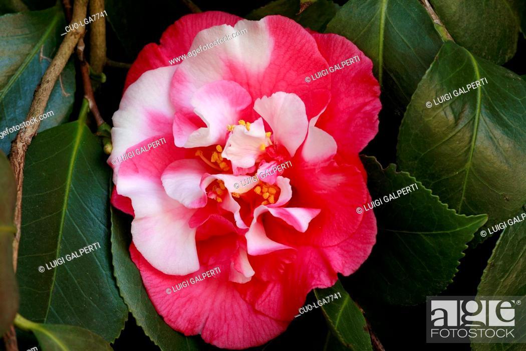Camellia japonica Lady Vansittard Japanische Kamelie Lady Vansittard