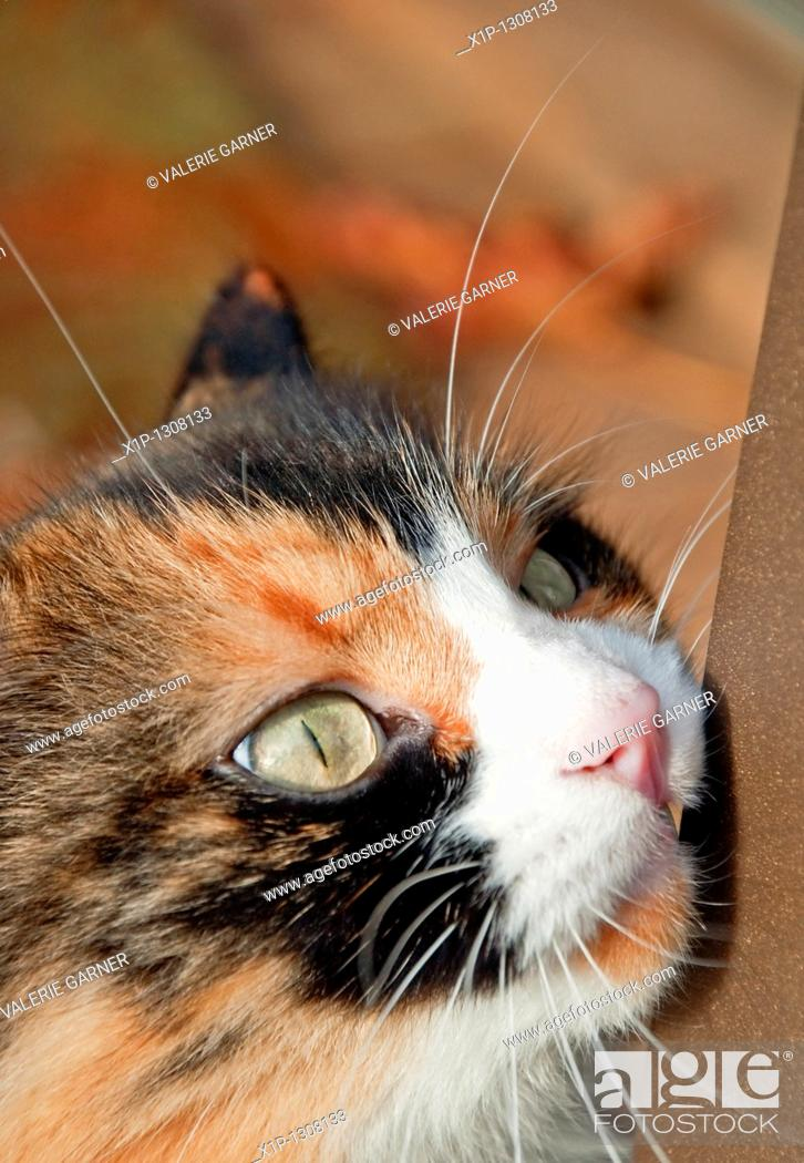 Stock Photo: This vertical stock image is an extreme closeup of a calico cat's face while it is rubbing on a bar It's green eyes are compelling.