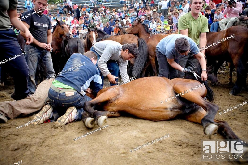 Stock Photo: Fiesta de la Rapa das Bestas in Sabucedo, Pontevedra province. Galicia. Spain.