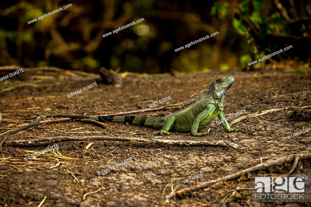 Stock Photo: 'Green Iguana ( Iguana iguana )'. During breeding months, secretory activity peaks, and at that time, the dominant breeding males produce more secretion than.