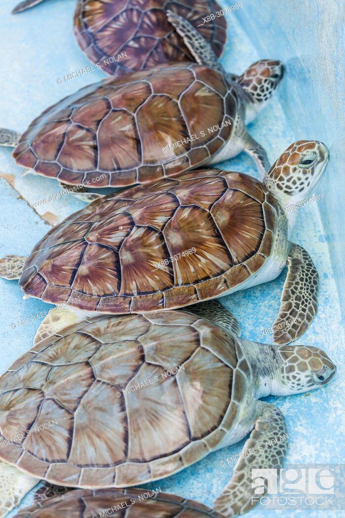 Stock Photo: Recovered green sea turtle, Chelonia mydas, at the sea turtle rescue center on Cayo Largo, Cuba.