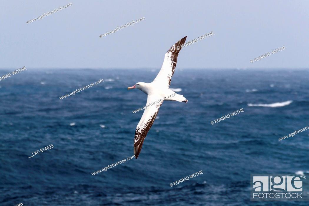 Imagen: Wandering Albatross in flight, Diomedea exulans, South Polar Sea, Antarctic.