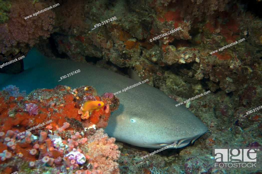 Stock Photo: Tawny Nurse shark (Nebrius Ferrugineus) laying on the bottom of the sea under an overhang and sleeping, Indian Ocean, Maldives, South Asia.