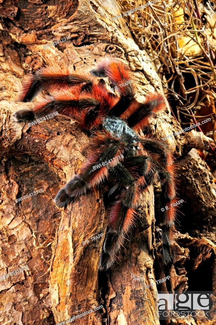Stock Photo: Antilles pinktoe tarantula, Martinique red tree spider, Martinique pinktoe (Avicularia versicolor), climbs on a branch, Martinique.