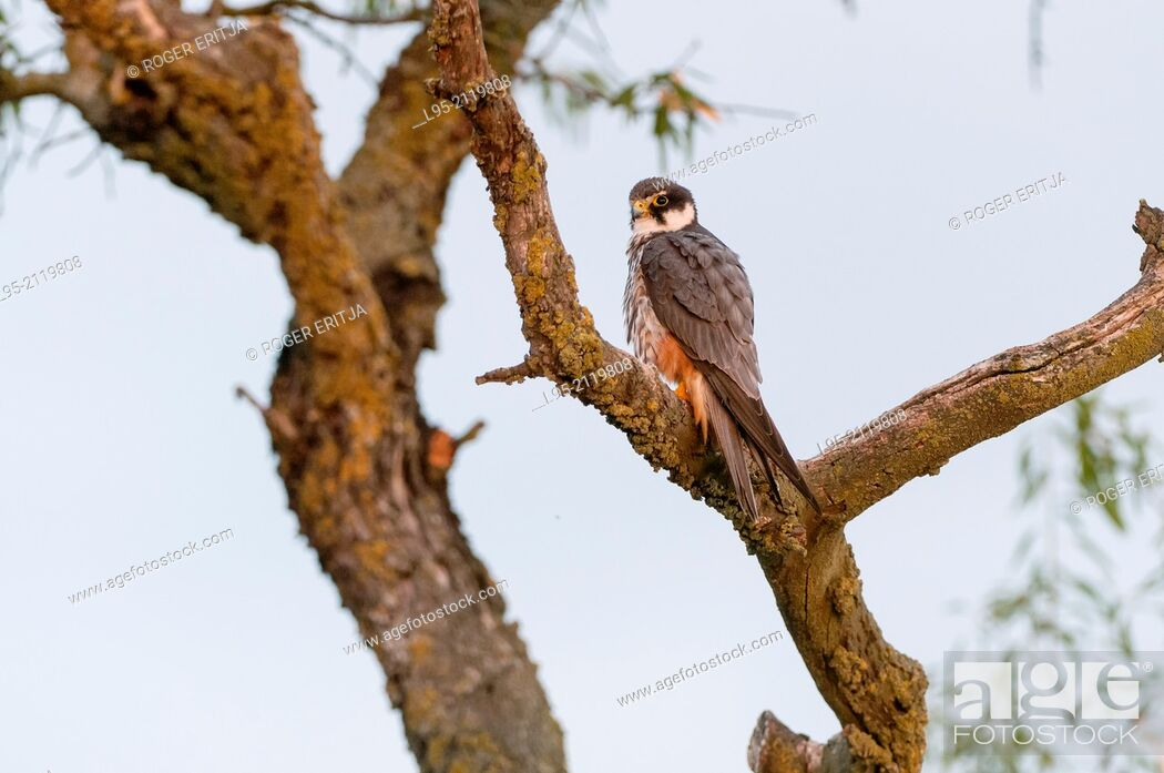 Stock Photo: Eurasian Hobby resting and surveilling within foliage of an Almond tree in the vicinity of his nest, Spain.