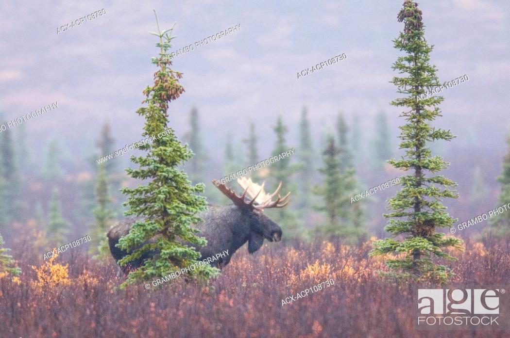 Stock Photo: Bull moose in autumn mist, Denali National Park, Alaska, USA.