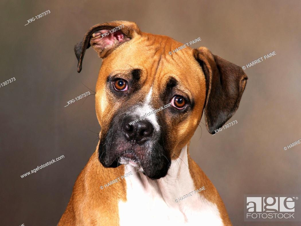 Stock Photo: Boxer: breed of dog.