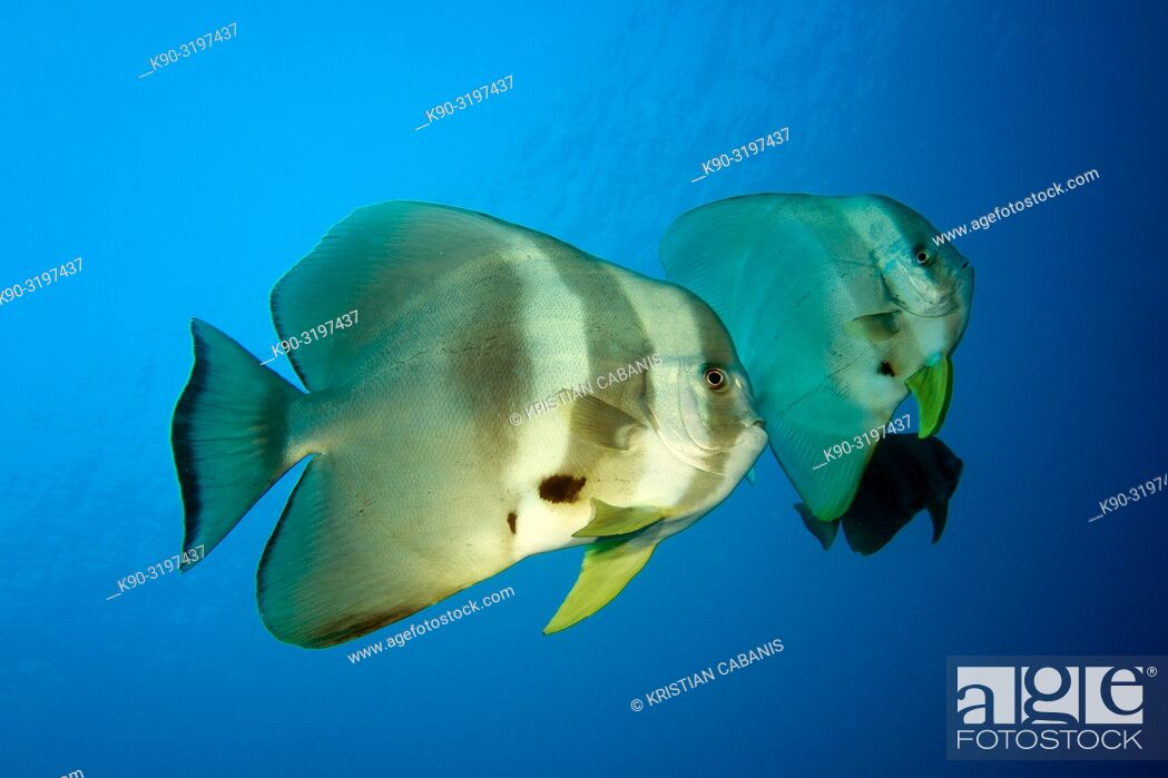 Stock Photo: Tall-fin batfish ((Platax teira) swimming in the blue, Indian Ocean, Maledives, South Asia.