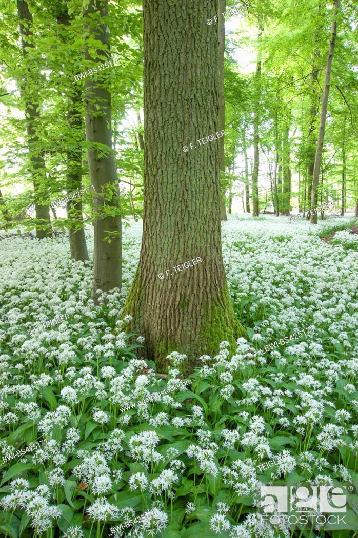 Stock Photo: ramsons, buckrams, wild garlic, broad-leaved garlic, wood garlic, bear leek, bear's garlic (Allium ursinum), blooming in a forest, Germany.