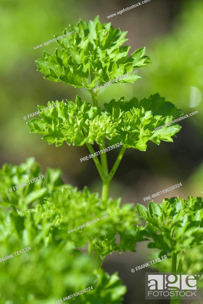 Petersilie Petroselinum crispum