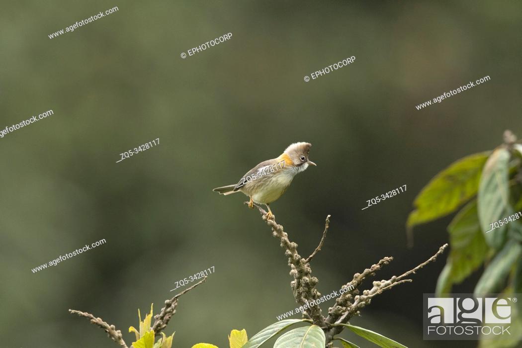 Stock Photo: Whiskered Yuhina, Yuhina flavicollis, Mishmi Hills, Arunachal Pradesh, India.