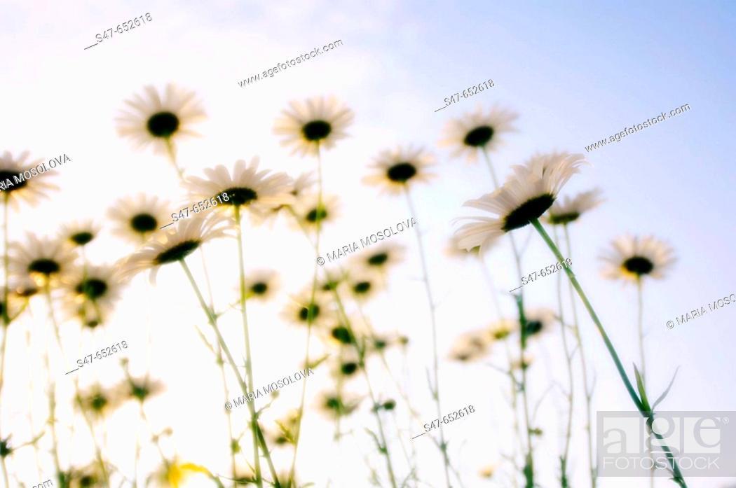 Stock Photo: Shasta Daisy Flowers. Leucanthemum x superbum. May 2005, Maryland, USA.