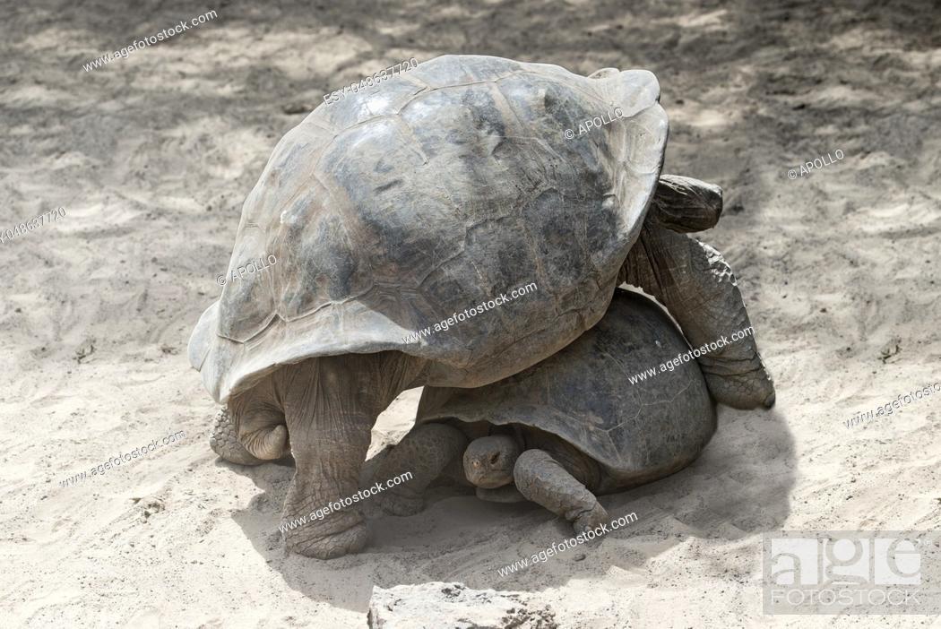 Stock Photo: Galápagos giant tortoises (Chelonoidis nigra ssp), Tortoise breeding center of Isabela Island, Galapagos Islands, Ecuador.