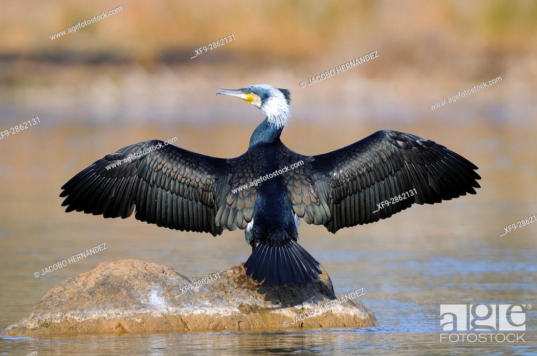 Stock Photo: Cormorant.Phalacrocorax carbo.Guadiana river.Badajoz province.Extremadura.Spain.
