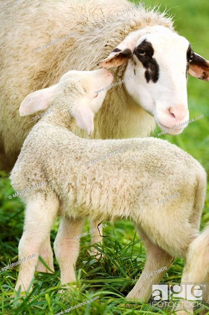 Stock Photo: A lamb in sozial contact with the mother.