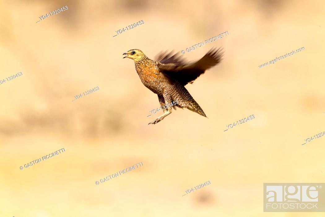 Stock Photo: Namaqua Sandgrouse Pterocles namaqua - Female, flying, Mabuasehube, Kgalagadi Transfrontier Park, Kalahari desert, Botswana.