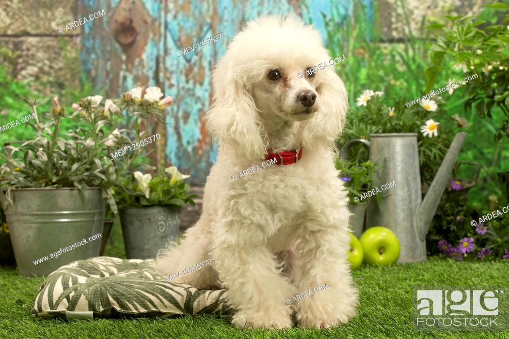 Stock Photo: Poodle outdoors in the garden.